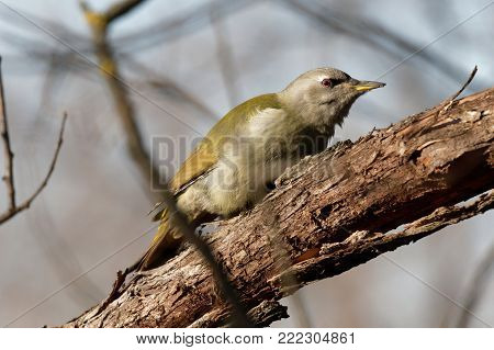 European green woodpecker (Picus viridis)  on a branch with a grey background Ukraine, 2018 A green woodpecker is searching for fodder. Natural forest background