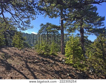 Picturesque landscape with pine trees and blue sky in Troodos Mountains on Cyprus