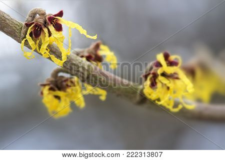 blooming hamamelis mollis, yellow winter flowers on a branch of the medical witch hazel plant, blurred bokeh background with copy space, close up shot,  selective focus and very narrow depth of field