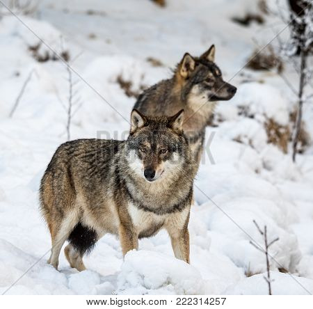 Two gray wolfs, Canis lupus, standing in snow. Captive animals in Dyreparken, Kristiansand, Norway poster
