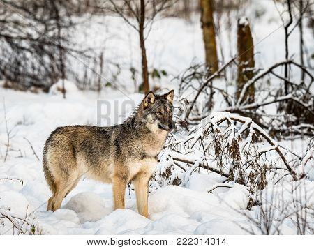 Gray wolf, Canis lupus, standing looking right, in a snowy winter forest. Captive animals in Dyreparken, Kristiansand, Norway