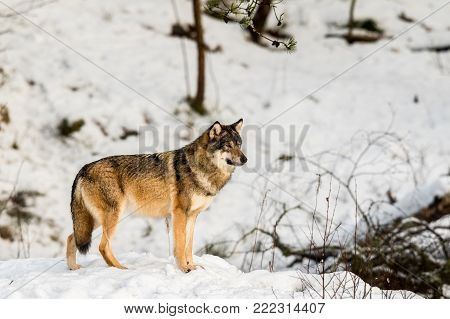 Gray wolf, Canis lupus, standing looking right, in a snowy winter forest. Captive animals in Dyreparken, Kristiansand, Norway poster