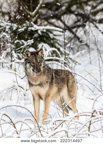 Gray wolf, Canis lupus, standing towards camera, looking right, in a snowy winter forest. Captive animals in Dyreparken, Kristiansand, Norway. Vertical image.