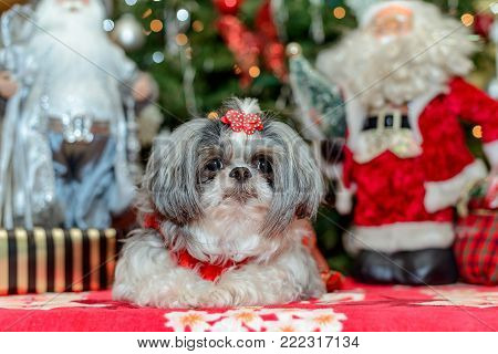 female shih tzu dog in christmas outfit