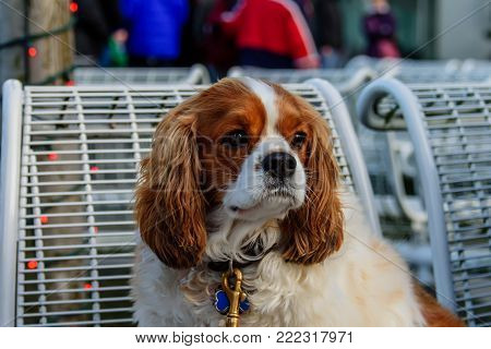 A shaggy animal is a brown dog with white hair on its chest, long brown ears, black sad eyes