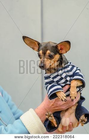 An animal is a pincher brown dog with a black head, is dressed in a striped shirt and blue pants, is sitting on the arms of an elderly woman