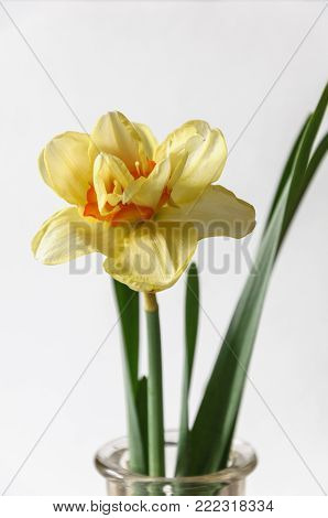 Close up view of beautiful yellow and red narciss flower in bottle isolated on grey background