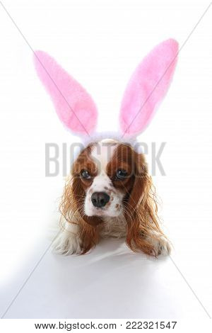 Easter bunny dog. Dog puppy with rabbit ears. Celebrate easter with cute cavalier king charles spaniel photo. Dog wearing rabbit costume.