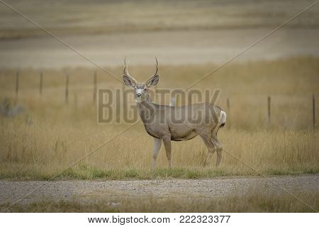 Male white tailed deer encounter in Wyoming