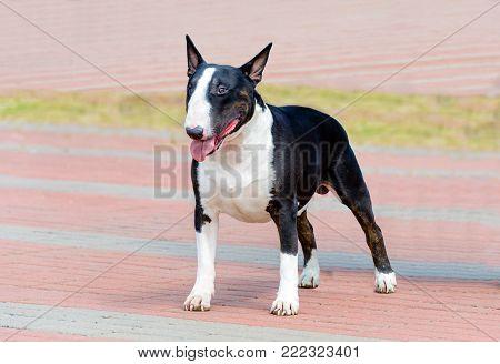 Bull Terrier black and white in full face. Bull Terrier black and white is on the park.