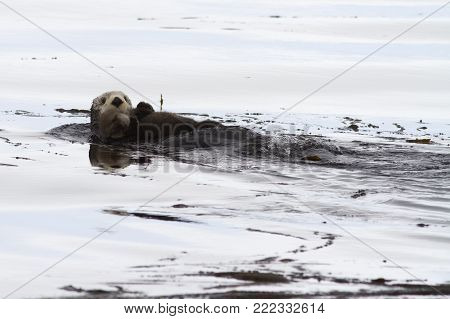 female sea-otter floating on the waves and holding a calf on her body