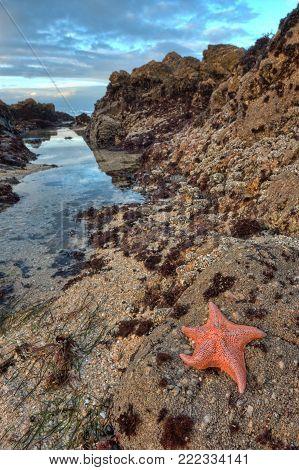 Sea Star Starfish on Tide Pool Rocks Low Tide
