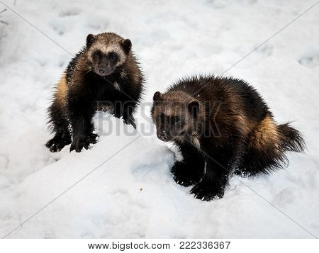 Two wolverines, gulo gulo, with snow and white background. Animals in captivity