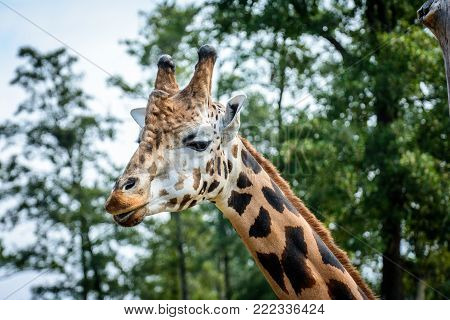 Portrait of Rothschilds giraffe (Giraffa camelopardalis rothschildi)