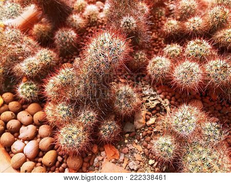 Red Brown Spiky Cactus in Clay Pot