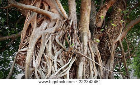 Huge Banyan Tree Trunk Branches and Roots