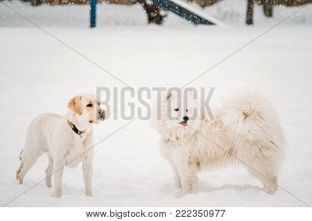 Two Funny Dogs - Labrador Dog And Samoyed Playing Outdoor In Snow, Winter Season. Playful Pets Outdoors.