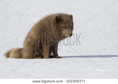 Commanders blue arctic fox that sits on the snow in the tundra on a winter sunny day
