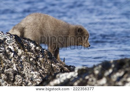 Commanders blue arctic fox that stands on a reef slab at low tide on the seashore on a winter day