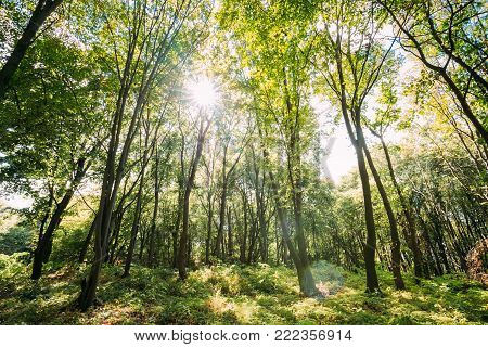 Sun Shining Through Canopy Of Tall Trees. Sunlight In Deciduous Forest, Summer Nature.