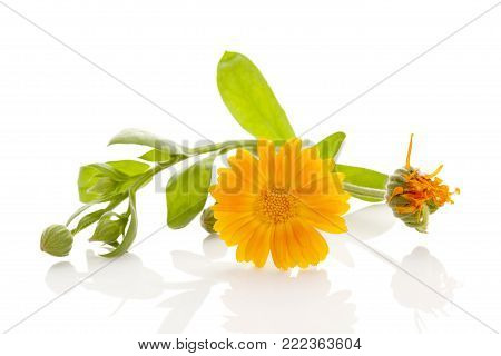 Healthy Calendula Flower With Leaves Isolated On White Background. Calendula Officinalis.