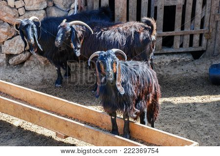Brown black goats at farm in desert