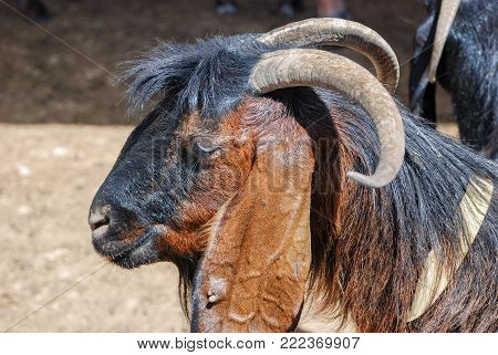 Close up of black brown goat head