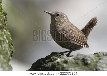 Male WINTER WREN sitting on the rocks near his nest on a summer day