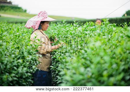 CHIANG RAI, THAILAND - AUGUST 19: woman picks tea despite ongoing labor strikes on August 19, 2017 in Chiang rai, Thailand.