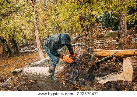 Man Sawing Tree In Forest With A Chainsaw. Felling Trees Woods