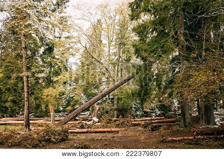 Falling Pine As A Result Of Felling Coniferous Trees. Greenwood Forest.