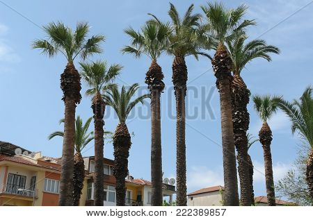 Group of tall palms and blue sky in Izmir, Turkey.