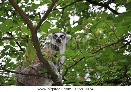 Catta Monkey In Tree
