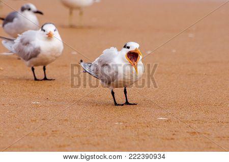 Royal tern yawning on a sandy beach.