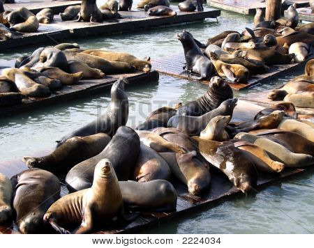 Seals At Pier In San Francisco