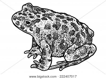 European green toad illustration, drawing, engraving, ink, line art