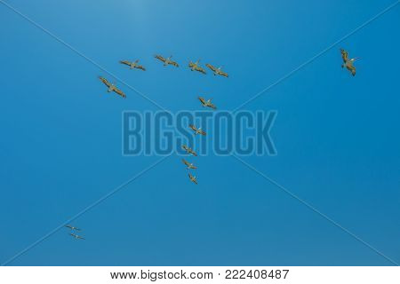 Brown Pelicans flying in formation on the sky in summer season over Penguin Island in Rockingham, near Perth, Western Australia. Penguin Island is home to the largest bird colony of the WA. Copy space