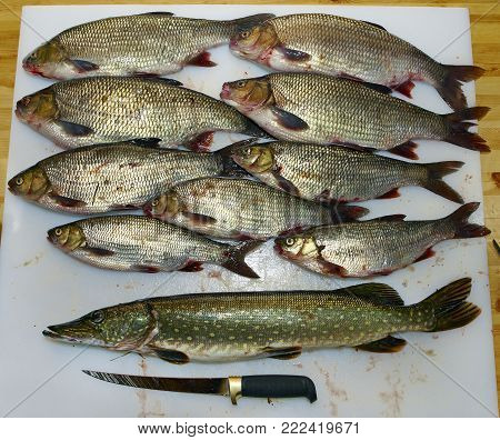 Scaled ide fish and pike on filleting board.