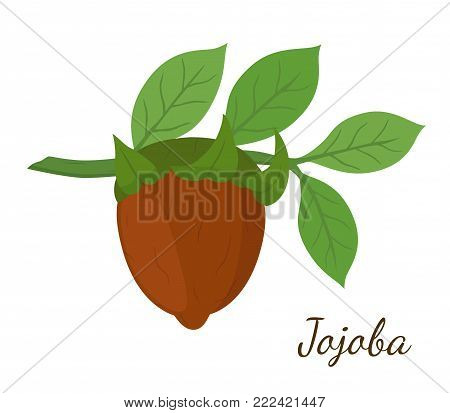 Vector jojoba branch, simmondsia chinensis,cosmetics plant, organic oil, aroma herb. Great for medicine, perfume, aroma therapy. Made in cartoon flat style