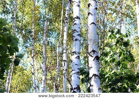 Birch trees with green leaves and white trunks in summer in birch grove