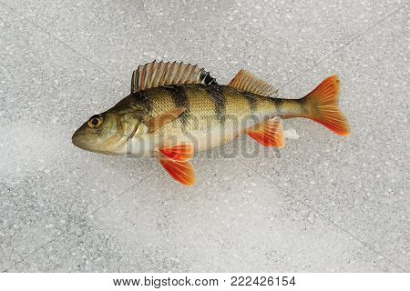 large bass are caught on lures is on the ice