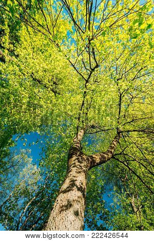 Spring Canopy Of Tall Tree. Deciduous Forest, Summer Nature At Sunny Day. Upper Branches Of Tree With Fresh Green Foliage. Low Angle View. Looking Up Woods. Greenery, Green Color - Trend 2017