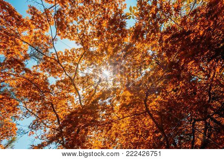 Spring Sun Shining Through Canopy Of Tall Maple Tree Wood. Sunlight In Forest, Summer Nature. Upper Branches Of Different Deciduous Trees Summer Background. Nobody. Environment Concept.