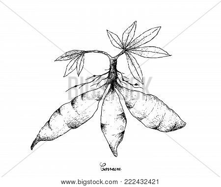 Root and Tuberous Vegetables, Illustration Hand Drawn Sketch of Cassava Roots or Manihot Esculenta Plant Isolated on White Background.