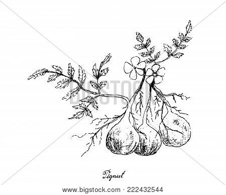 Root and Tuberous Vegetables, Illustration Hand Drawn Sketch of Pignut or Conopodium Majus Plant on White Background. Good Source of Dietary Fiber, Vitamins and Minerals.