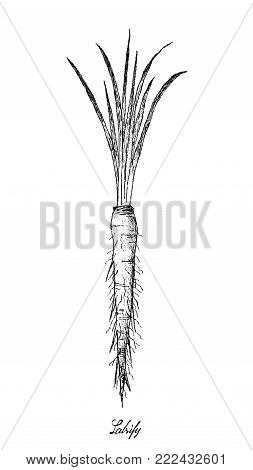 Root and Tuberous Vegetables, Illustration Hand Drawn Sketch of Fresh Salsify or Tragopogon Porrifolius Plants Isolated on White Background.