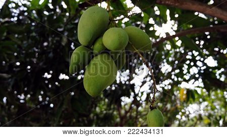 Mangos Hanging From The Tree In Thailand