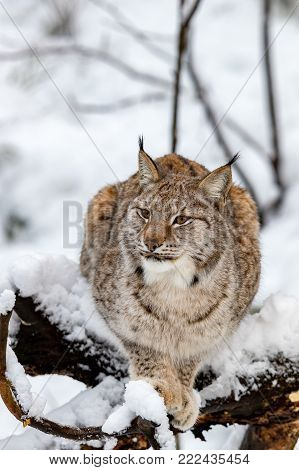 Eurasian lynx, Lynx lynx, in the snowy in Norway, captive animal