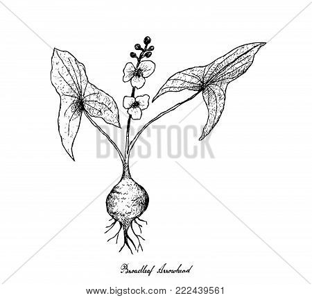 Root and Tuberous Vegetables, Illustration Hand Drawn Sketch of Broadleaf Arrowhead or Sagittaria Latifolia Plant Isolated on White Background.
