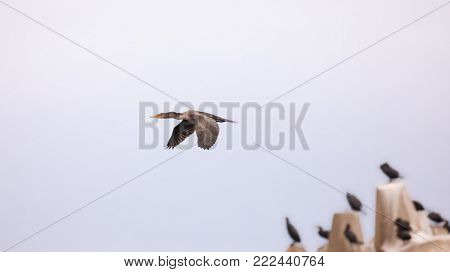 Great cormorant in flight, with others perched on a breakwater in the background. Iles de la Madeleine, Canada.